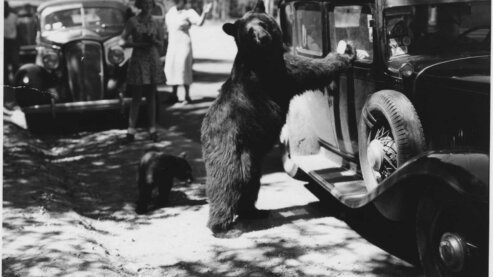 Black Bear Begs for Food at a Yellowstone Roadside, 1937 | Photo Gallery